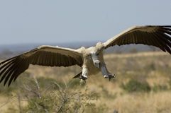 Vulture coming in to land stock images