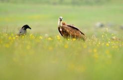 vulture and a crow in the field in spring Stock Photo