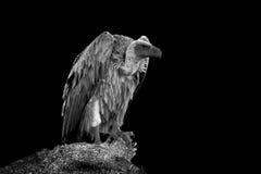Vulture on dark background Stock Image