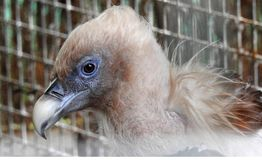 Vulture. Deprived of liberty in a zoo Stock Photos