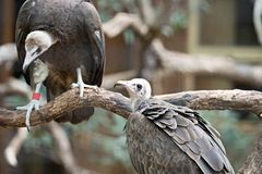 Vulture in a detailed portrait at a zoo Stock Photo