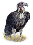 Vulture drawing. Colored pencil hand drawing of a red headed vulture Stock Photo