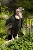 Vulture dries its wings Royalty Free Stock Images