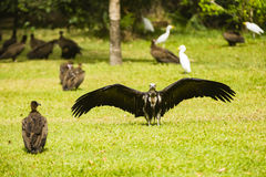 A vulture drying its wings Stock Image