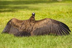 A vulture drying its wings Stock Photography