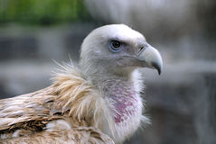 vulture eagle Stock Photo