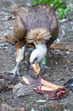 Vulture eating Royalty Free Stock Photos