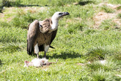 Vulture eating dead chicken Royalty Free Stock Image