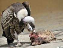 Vulture eating meat Royalty Free Stock Image