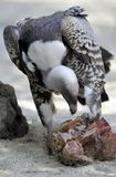 Vulture Eating Meat Stock Images