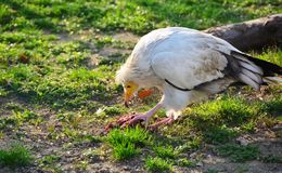 Vulture eating a piece of meat in a zoo Stock Image