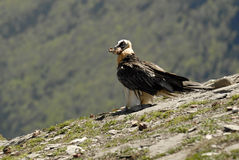 A vulture eating in the Pyrenees stock photo