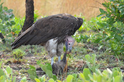 Vulture eating Stock Image