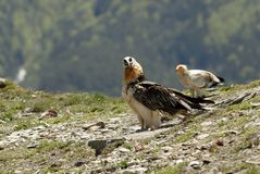 Vulture and Egyptianvulture Stock Photo