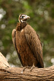 Vulture. Feathers tree beak gambia carrion scavengers wings fly circling Gyps africanus chewa choyo Stock Photo