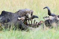 Vulture feeding on a kill Royalty Free Stock Images