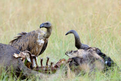 Vulture feeding on a kill stock photography