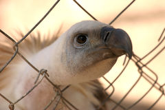 Vulture in fence Stock Photography