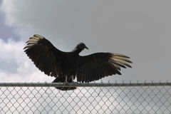 Vulture on fence Royalty Free Stock Image
