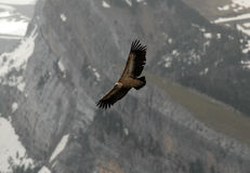 Vulture flies Pyrenees mountains Stock Image
