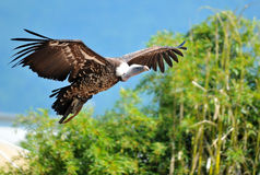Vulture in flight stock image