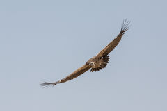 Vulture in flight Royalty Free Stock Photo