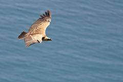 Vulture in flight. Over the sea (gyps fulvus royalty free stock image