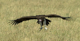Vulture in flight Royalty Free Stock Photography