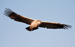Vulture in flight in blue sky Stock Images