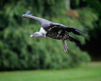 Vulture in Flight Stock Image