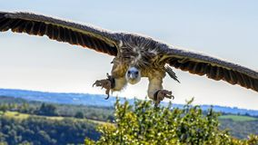 Vulture, Flight, Landing, Raptor Royalty Free Stock Photos