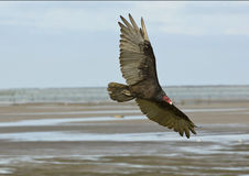 Vulture in Flight Stock Photography