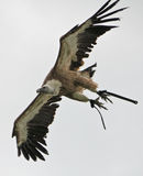 Vulture_flying Fotografia de Stock Royalty Free