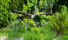 Vulture Flying Royalty Free Stock Images