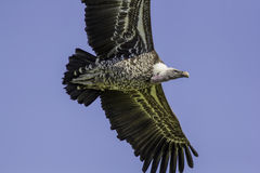 Vulture flying against blue sky. Close up from below. Stock Photo