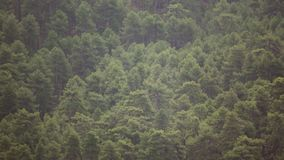 Pine tree forest and vulture flying stock video footage