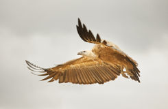 Vulture flying Stock Photo