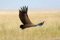 Vulture flying. Masai Mara National Park Stock Image