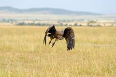 Vulture flying. Masai Mara National Park Stock Photography
