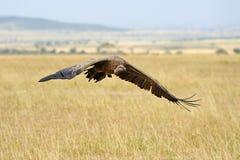 Vulture flying. Masai Mara National Park Royalty Free Stock Photo