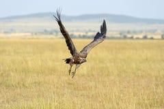 Vulture flying. Masai Mara National Park Royalty Free Stock Photos