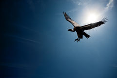 Vulture flying in sunlight (digital composite) Royalty Free Stock Photos