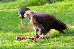 Vulture, friendly animals at the Prague Zoo. Stock Photography
