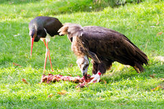 Vulture, friendly animals at the Prague Zoo. Royalty Free Stock Images