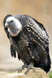 Vulture full length Stock Image