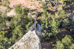 Vulture in the Great Canyon near Maricopa Point, they carry a ho. Ming device and an identification to be controlled by ranger Royalty Free Stock Photo
