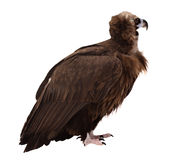 Vulture (griffin). Isolated over white Stock Images
