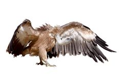 Vulture griffon Royalty Free Stock Photos