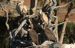 Vulture group. The Recovery Center of MIPS Wildlife Villafranca de los Barros (Badajoz) enter every year hundreds of specimens of various species, mostly birds Royalty Free Stock Photo