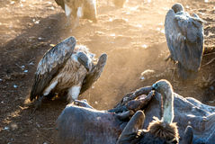 Vulture Group Stock Images